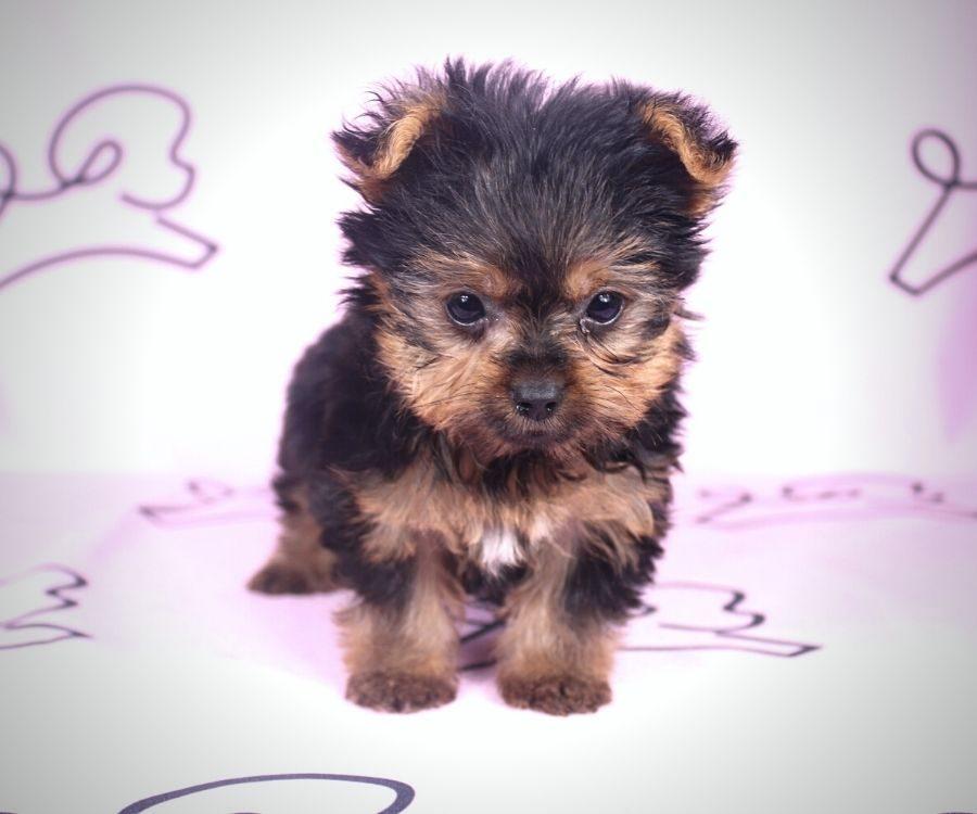Amalia - toy yorkie puppy in Las Vegas:Los Angeles.5