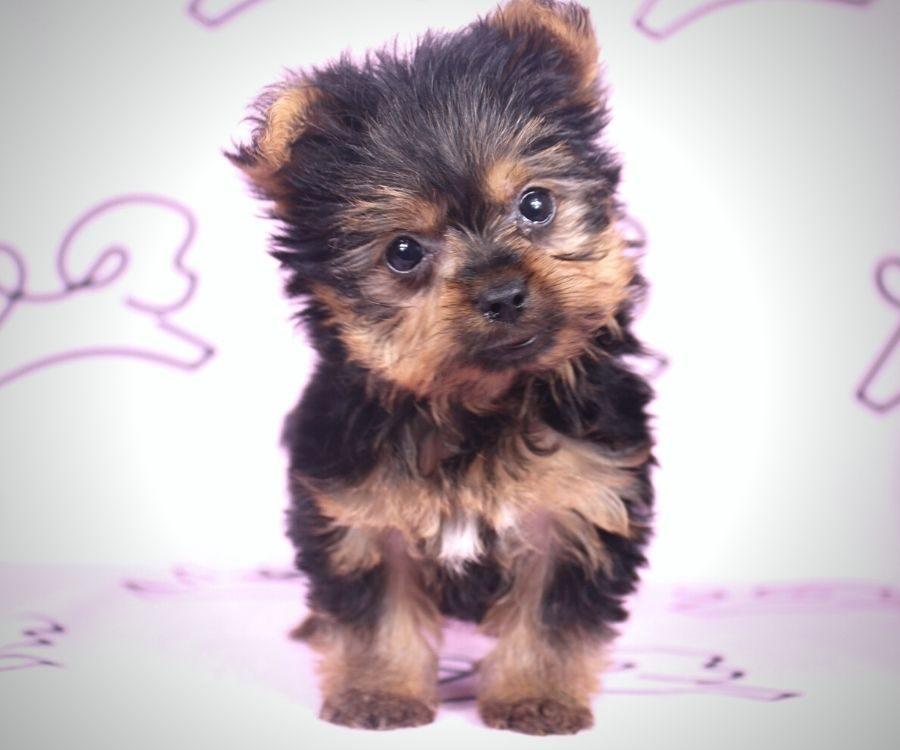 Amalia - toy yorkie puppy in Las Vegas:Los Angeles.6