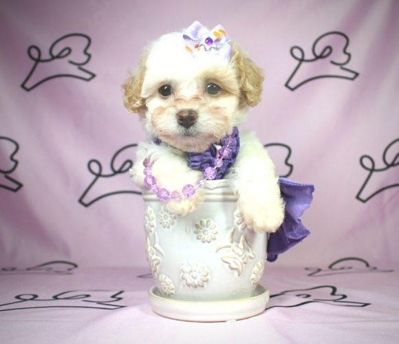 Amara - Toy Maltipoo puppy in Las Vegas:Los Angeles.0