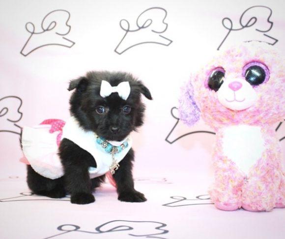 Ana Maria - Teacup Pomapoo Puppy in Las Vegas.0