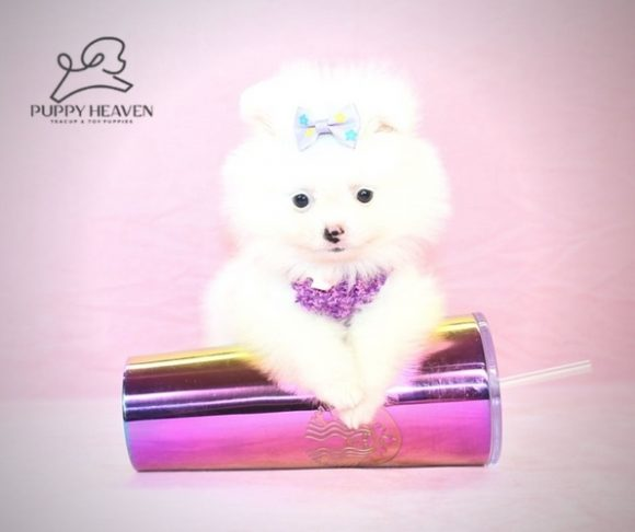 Anastasia - Teacup Pomeranian Puppy For Sale (3)
