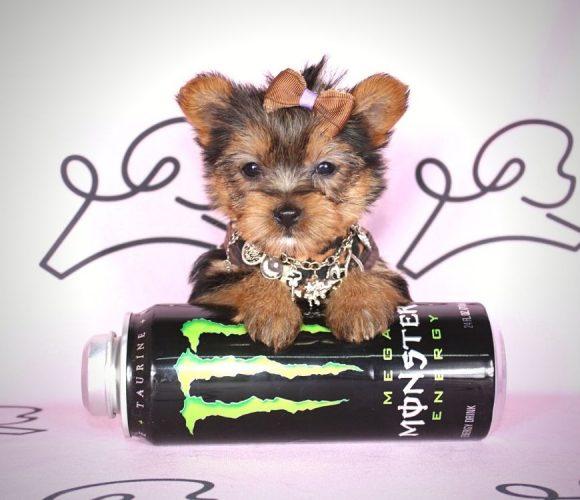 Angie - teacup yorkie puppy in Las Vegas:Los Angeles.0