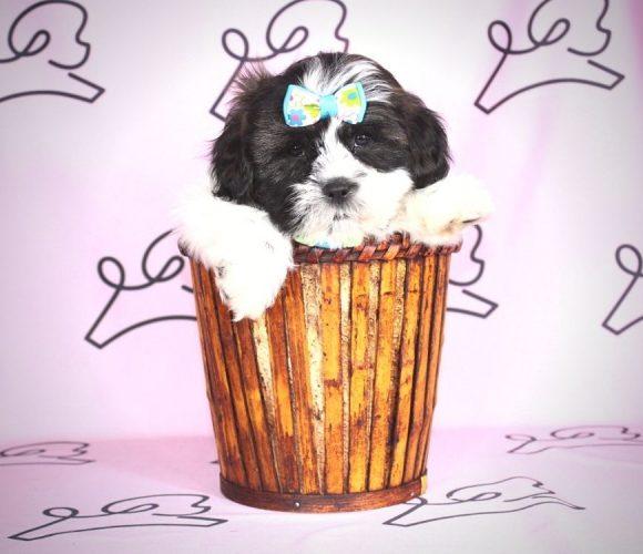 April - toy shih tzu puppy in Las Vegas:Los Angeles.0