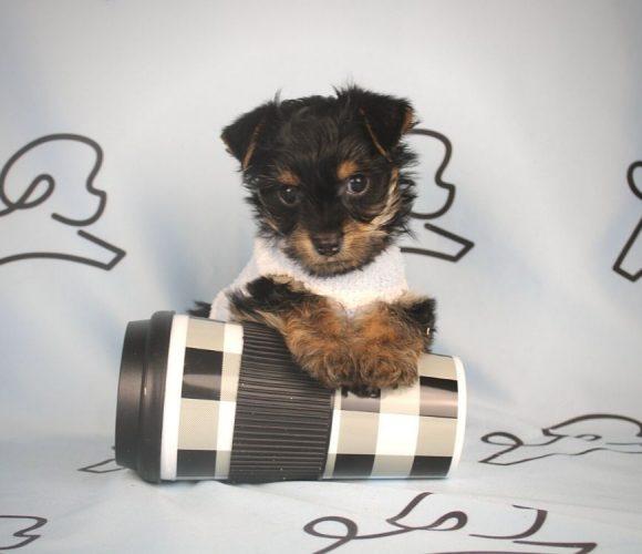 Arlo - teacup yorkie puppy in Las Vegas:Los Angeles.0