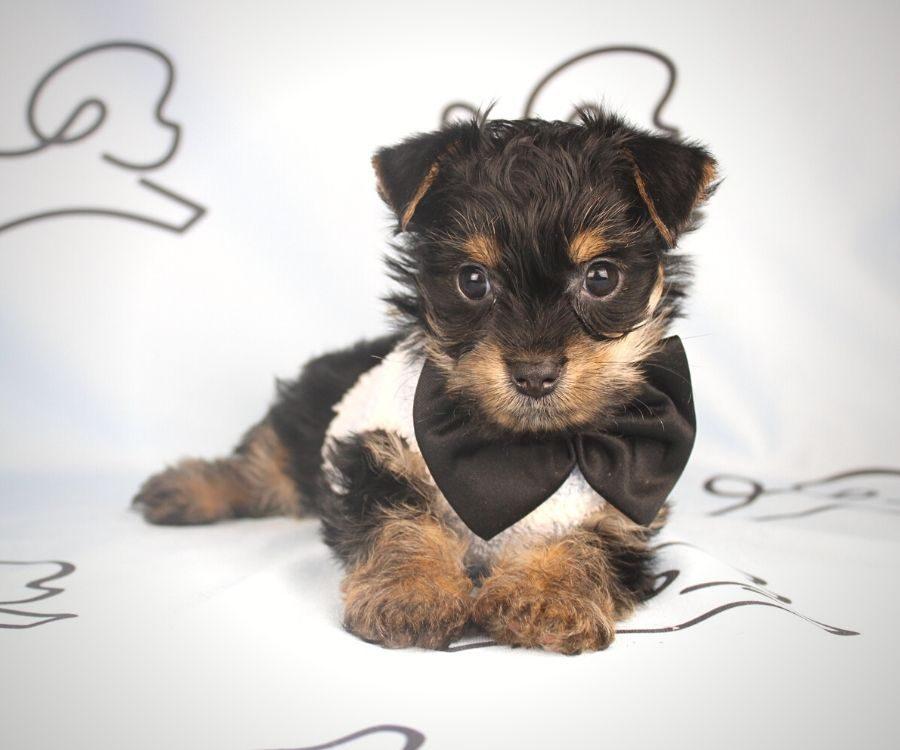 Arlo - teacup yorkie puppy in Las Vegas:Los Angeles.4