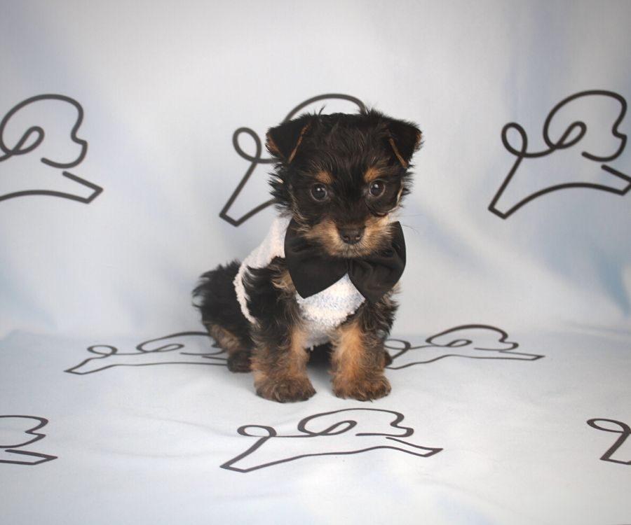 Arlo - teacup yorkie puppy in Las Vegas:Los Angeles.5
