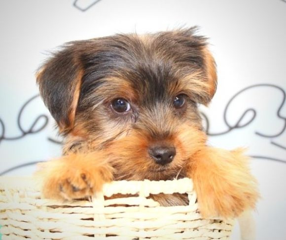 Ashton Kutcher - yorkie puppies for sale in Los Angeles.2