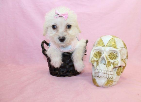 BFF - Teacup Maltipoo Puppy1