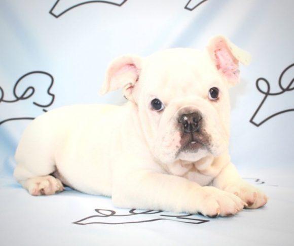 Balto - English Bulldog Puppy for sale.2