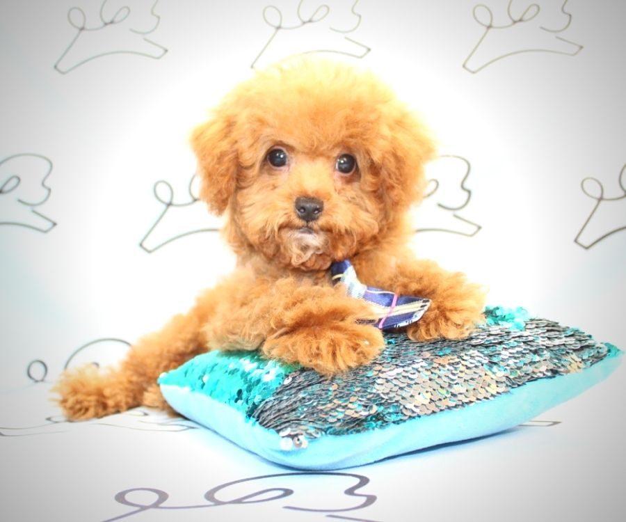 Beast - toy poodle in Las Vegas.0