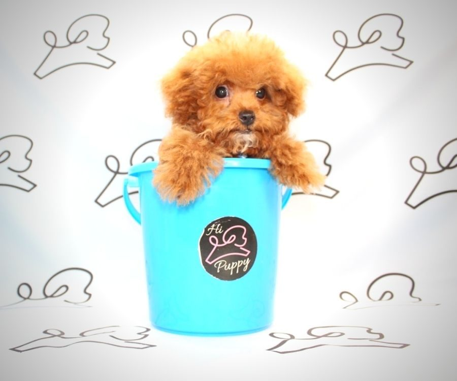 Beast - toy poodle in Las Vegas.2