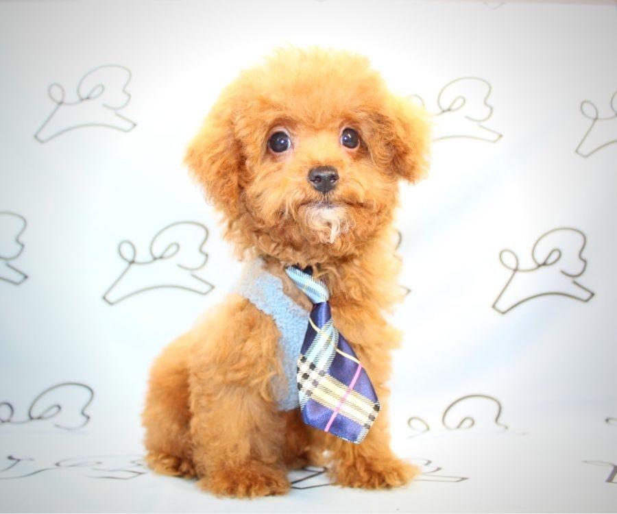 Beast - toy poodle in Las Vegas.3