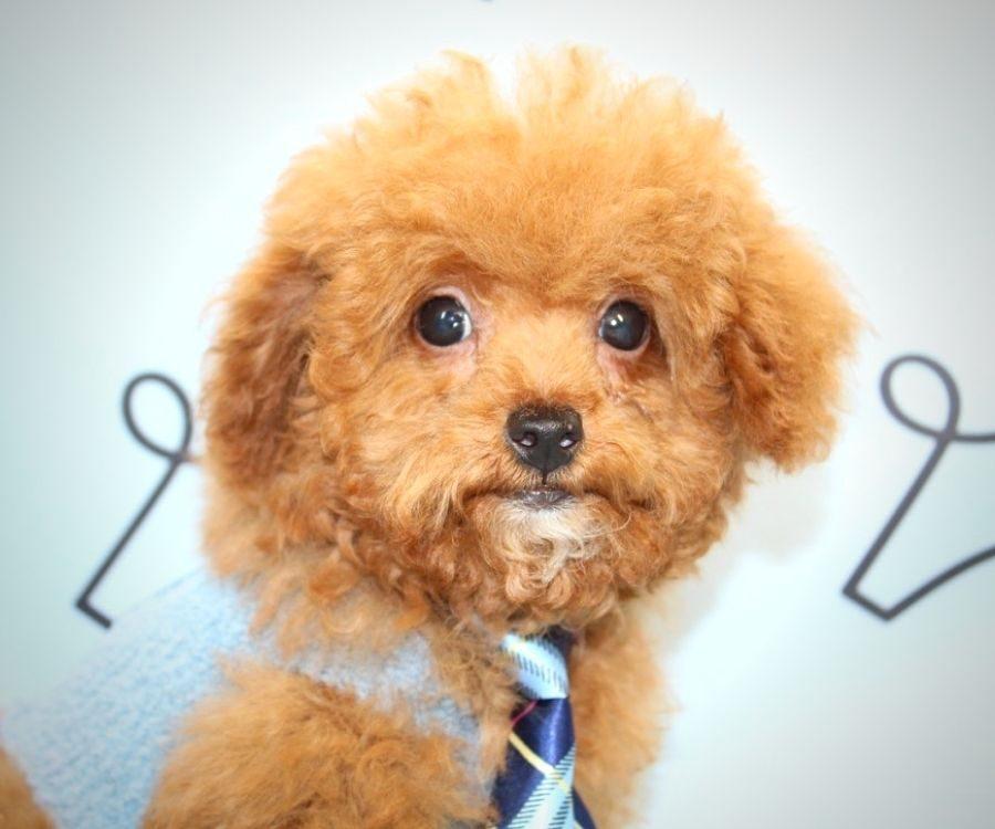 Beast - toy poodle in Las Vegas.4
