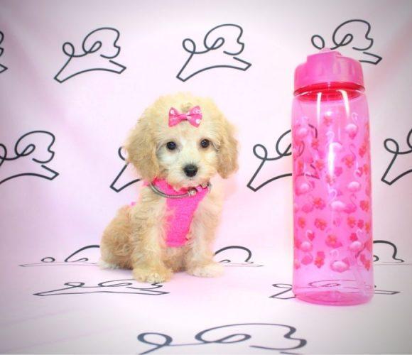 Belle - miniature poodle in Los Angeles.1