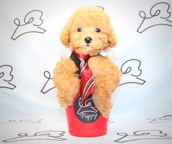 Benedict - toy poodle in Las Vegas.1