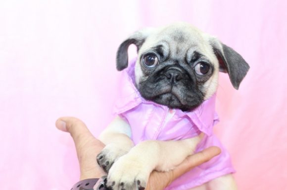 Betty Boop - Toy Pug Puppy3