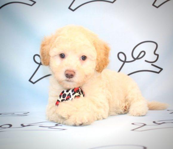 Billy Joel - teacup poodle in Long Beach.1