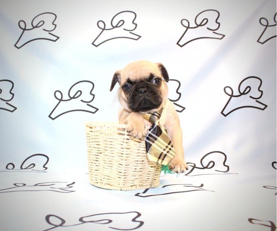Binks - toy pug puppy in Las Vegas:Los Angeles.0