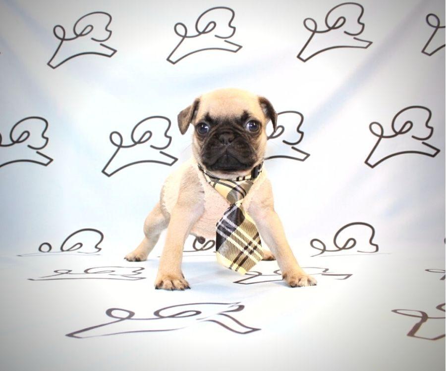 Binks - toy pug puppy in Las Vegas:Los Angeles.1