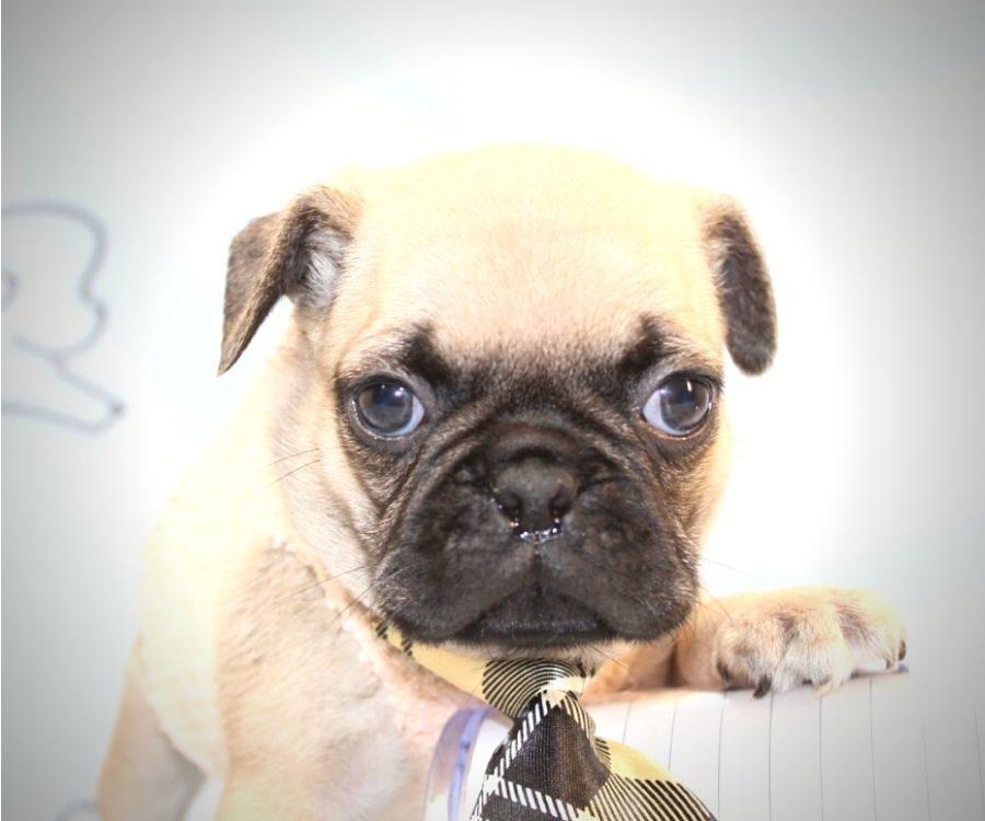 Binks - toy pug puppy in Las Vegas:Los Angeles.4