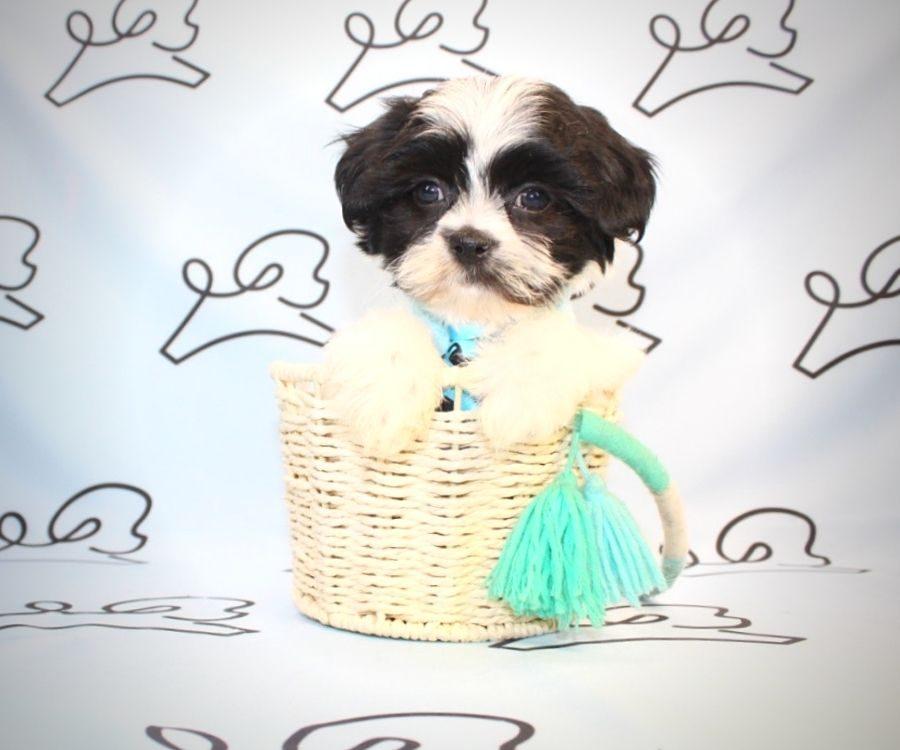 Bongo - Shih Tzu puppies for sale in San Diego.0
