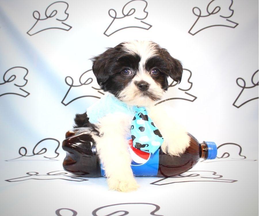 Bongo - Shih Tzu puppies for sale in San Diego.1