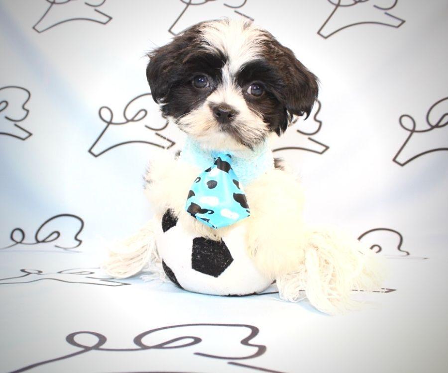 Bongo - Shih Tzu puppies for sale in San Diego.3