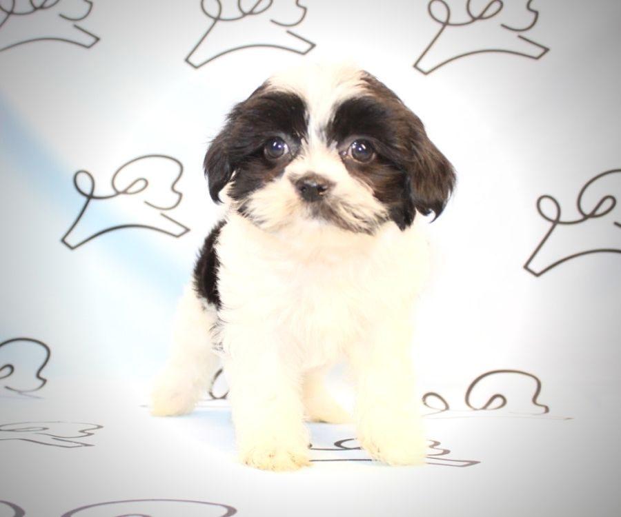 Bongo - Shih Tzu puppies for sale in San Diego.4