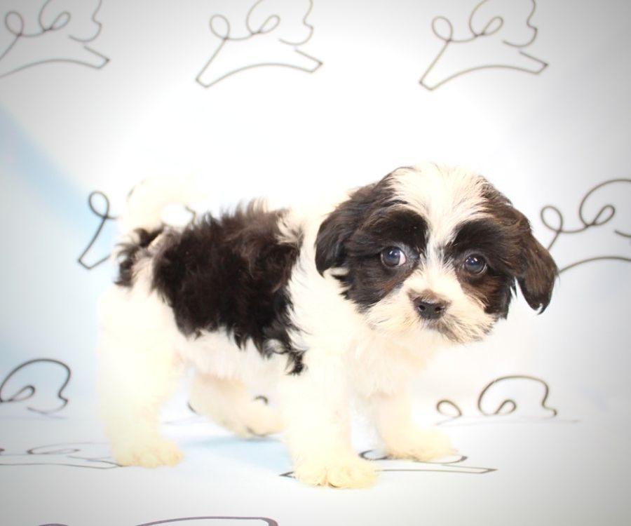 Bongo - Shih Tzu puppies for sale in San Diego.5