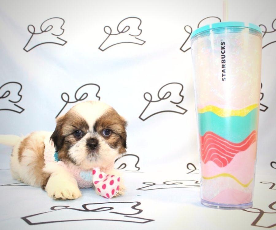 Bowser - toy Shih Tzu puppy in Las Vegas:Los Angeles.0