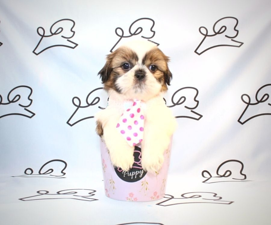 Bowser - toy Shih Tzu puppy in Las Vegas:Los Angeles.1