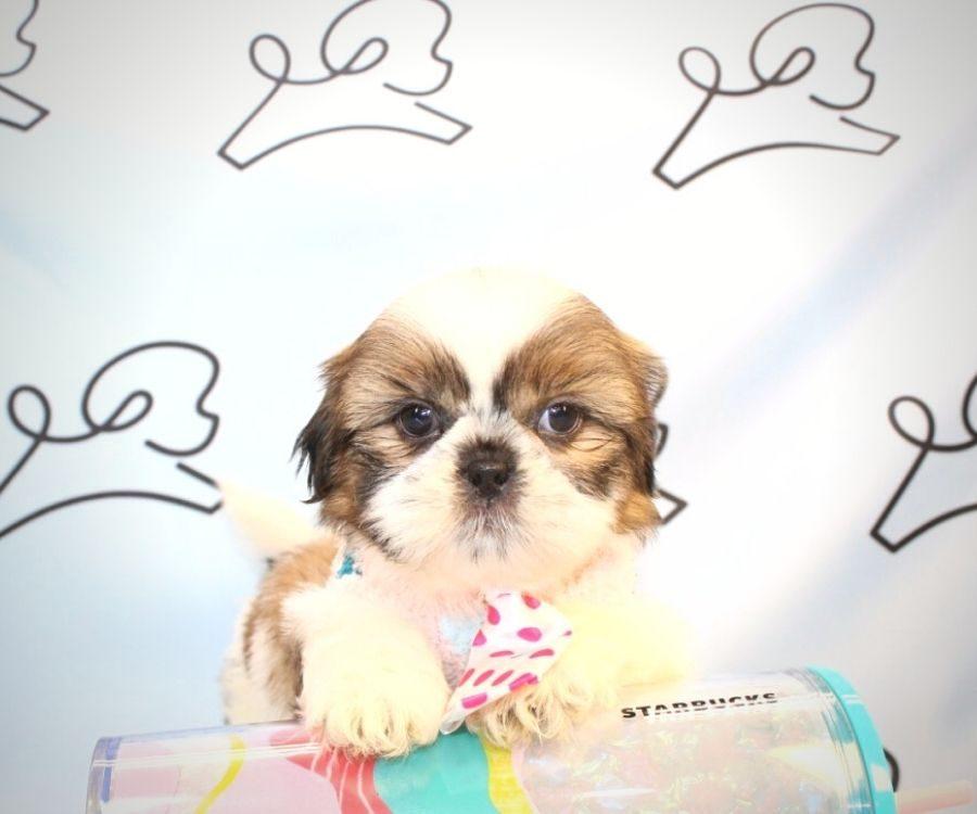 Bowser - toy Shih Tzu puppy in Las Vegas:Los Angeles.3