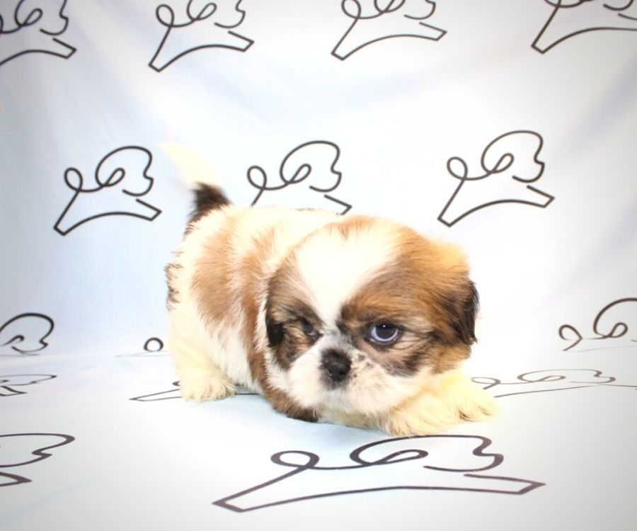 Bowser - toy Shih Tzu puppy in Las Vegas:Los Angeles.5