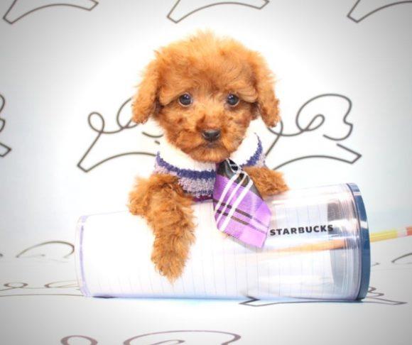 Brownie - Toy poodle in Las Vegas.0