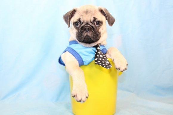 Bruno Mars - Toy Pug Puppy12