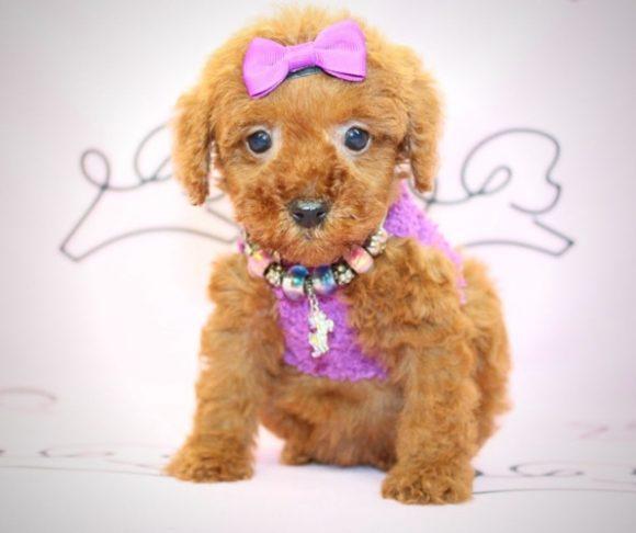 Bubbles - miniature poodle in Los Angeles.3