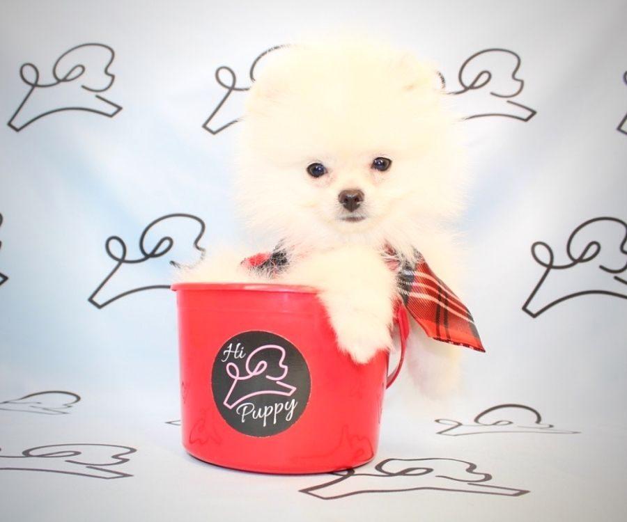 Bugs Bunny - pomeranian puppy in Las Vegas.4