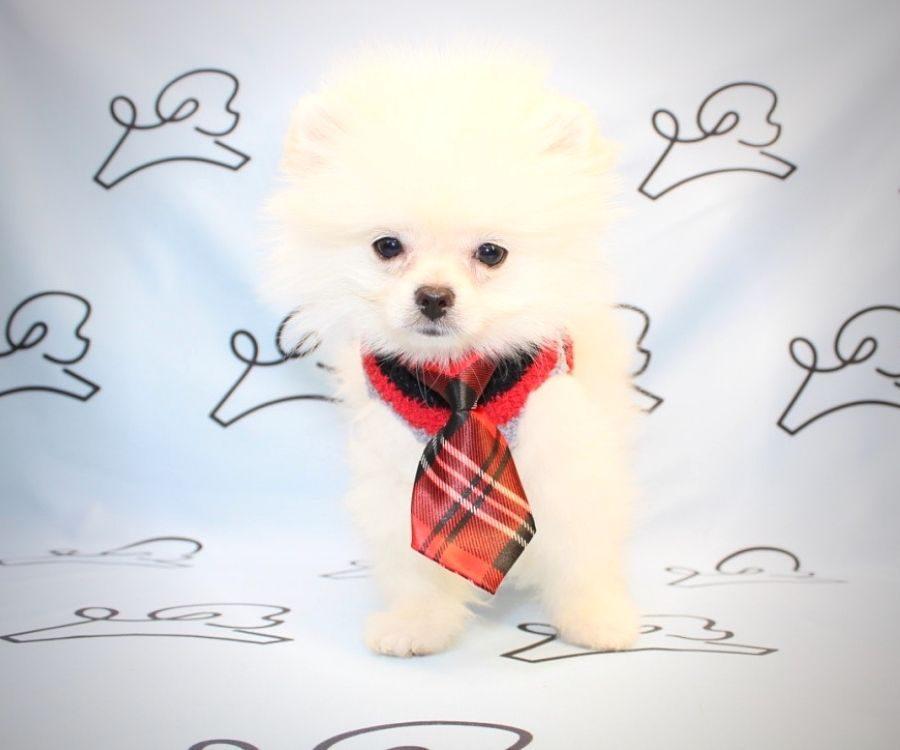 Bugs Bunny - pomeranian puppy in Las Vegas.5