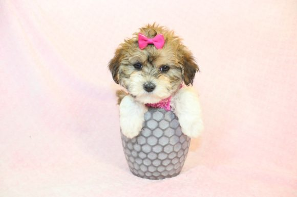 Buttercup - Teacup Maltipoo Puppy8
