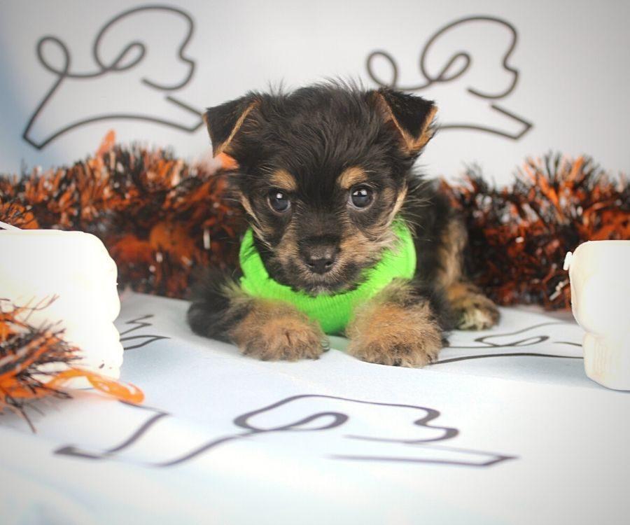 Buzz - toy Yorkie puppy in Las Vegas:Los Angeles.0