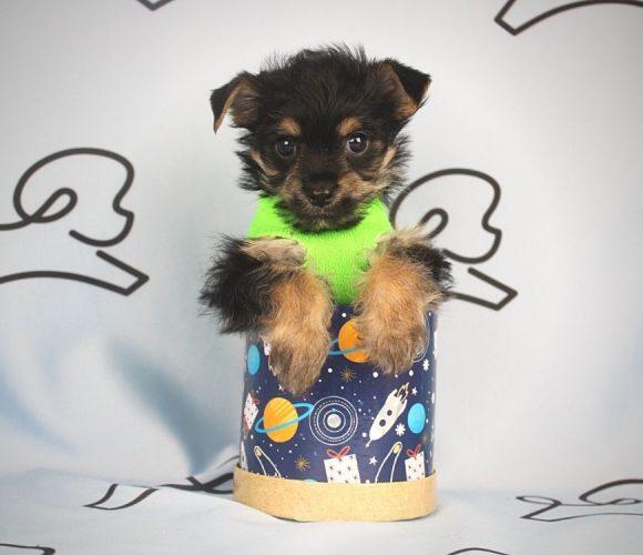 Buzz - toy Yorkie puppy in Las Vegas:Los Angeles.1