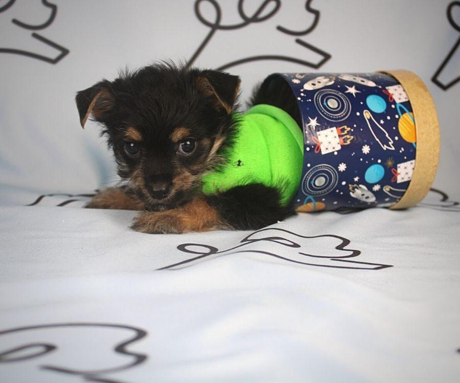 Buzz - toy Yorkie puppy in Las Vegas:Los Angeles.2