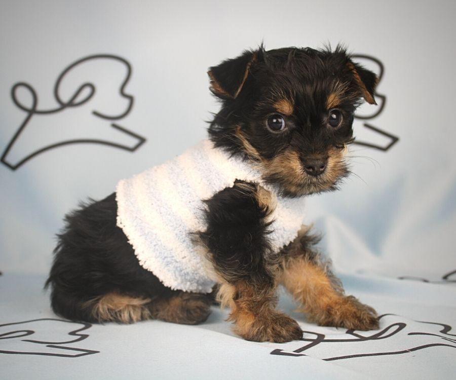 Buzz - toy Yorkie puppy in Las Vegas:Los Angeles.3