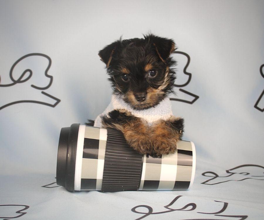 Buzz - toy Yorkie puppy in Las Vegas:Los Angeles.5