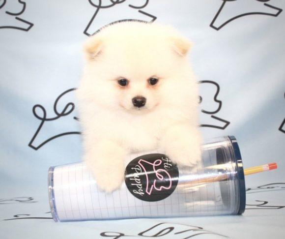 Camillo - Teacup Pomeranian Puppy Near Santa Monica.0