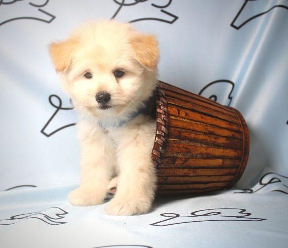 CareBear - toy Pomtese puppy in Las Vegas:Los Angeles.0