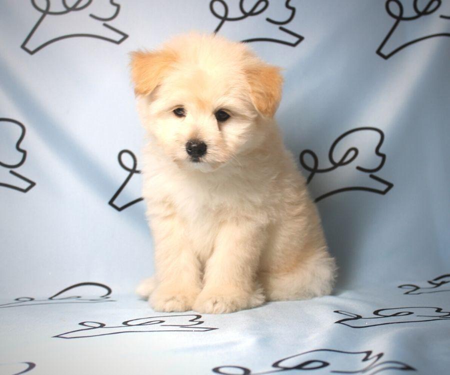 CareBear - toy Pomtese puppy in Las Vegas:Los Angeles.1