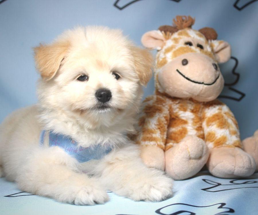 CareBear - toy Pomtese puppy in Las Vegas:Los Angeles.2