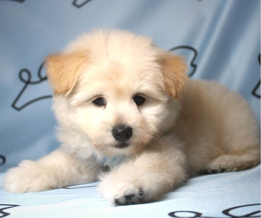 CareBear - toy Pomtese puppy in Las Vegas:Los Angeles.3