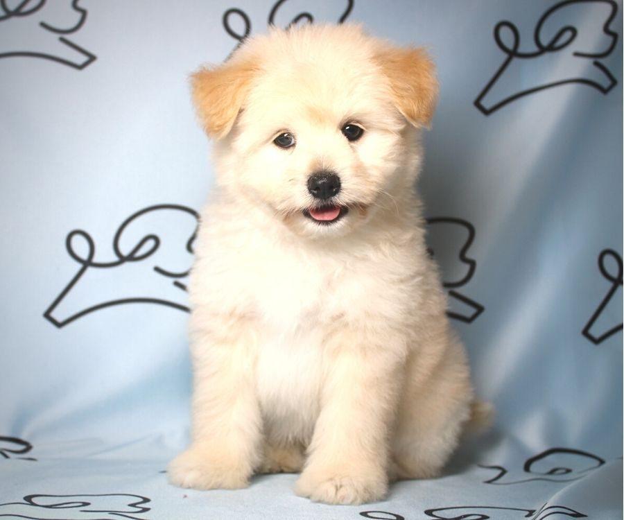 CareBear - toy Pomtese puppy in Las Vegas:Los Angeles.4